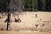 Jasper, Town - Elk chase scene, 1