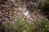 Drumheller, Midland Provincial Park - White butterfly landing on purple flowers