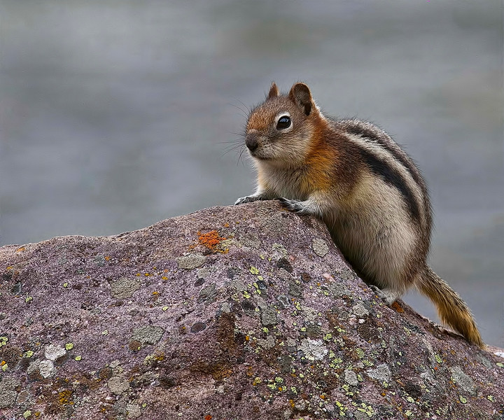 The golden-mantled ground squirrel (Callospermophilus lateralis) is a type of ground squirrel found in mountainous areas of western North America