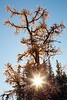 Banff, Sunshine - Sunstar through late season larch