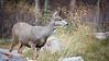 Banff, Minnewanka - Doe mule deer on alert