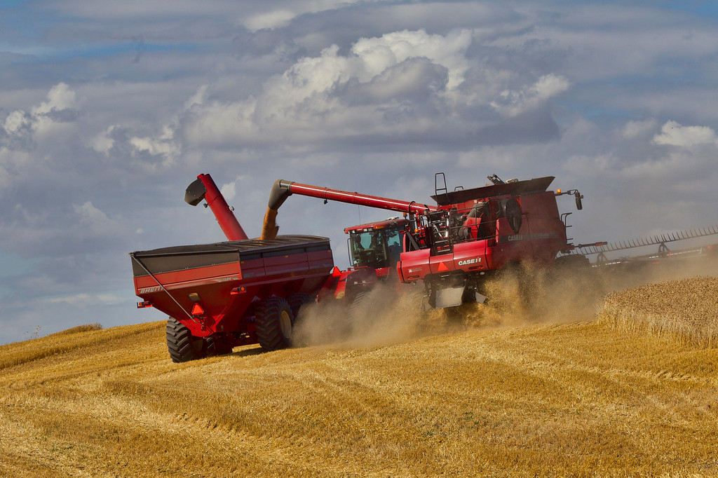 A Full Combine disgorges its load of Wheat into the Grain Hauler