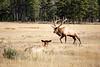 Jasper, Town - Elk chase scene, 6