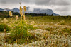 Banff, Sunshine - Tall grass above the ground cover on a cloudy day