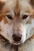 Canmore, Town - Portrait of a sled dog staring at camera