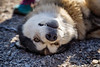 Canmore, Town - Sled dog upside down smiling at camera