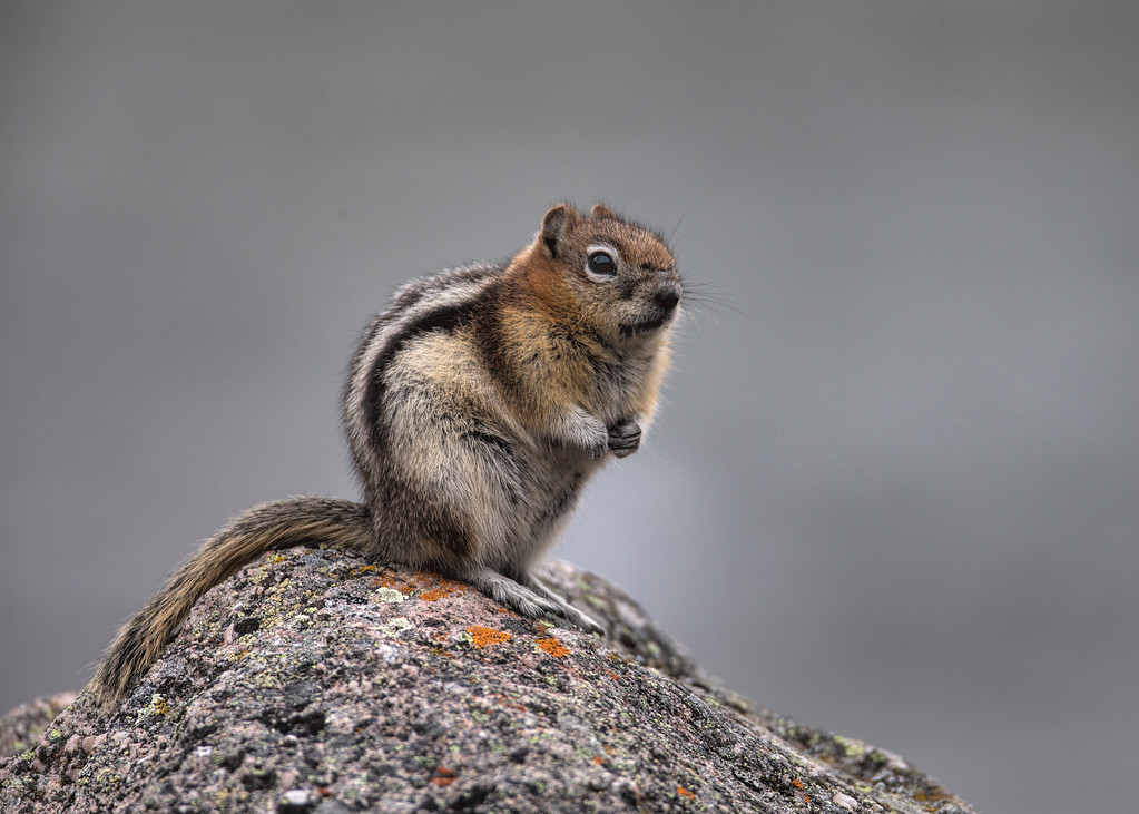 Golden Mantled Ground Squirrel