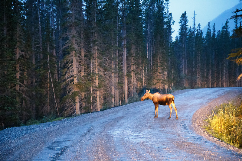 K Country, Spray Lakes - Cow moose crossing the road just before dark