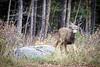 Banff, Minnewanka - Fawn mule deer looking for food