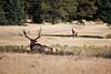 Jasper, Town - Elk chase scene, 2