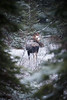 K Country, Mud Lake - Bull moose looking at me framed by trees in snow