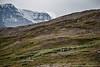 Jasper, Icefields Centre - Herd of sheep near Wilcox Pass