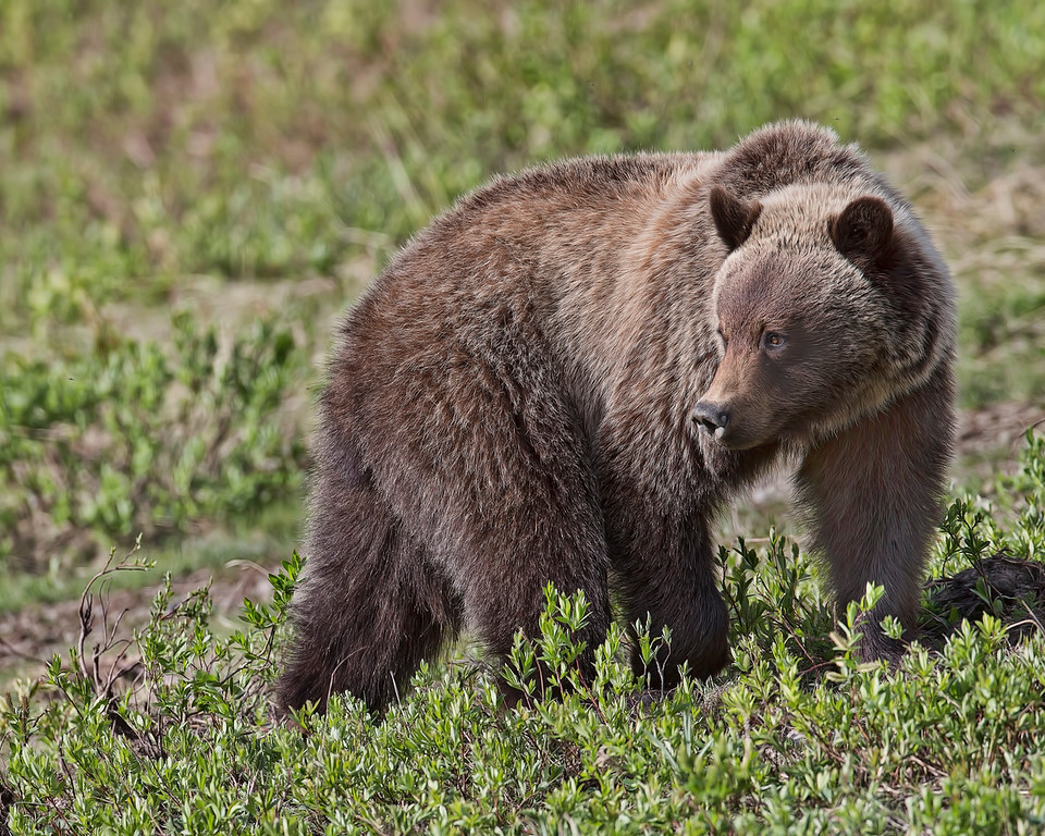 Grizzly Bear searching for food