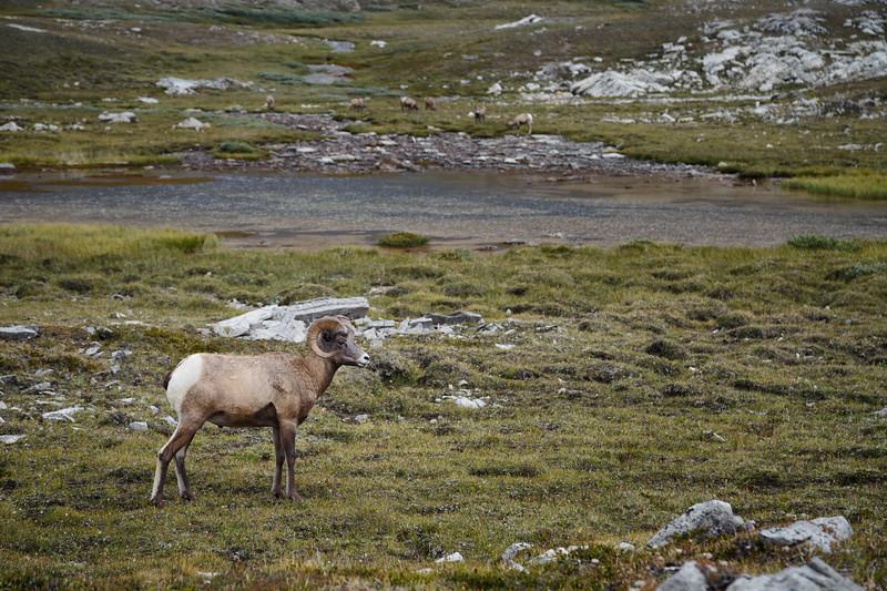 Jasper, Icefields Centre - Ram enjoying the view of his surroundings near Wilcox Pass