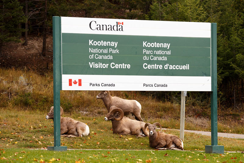 Kootenay, Radium - Four male sheep sitting under national park sign