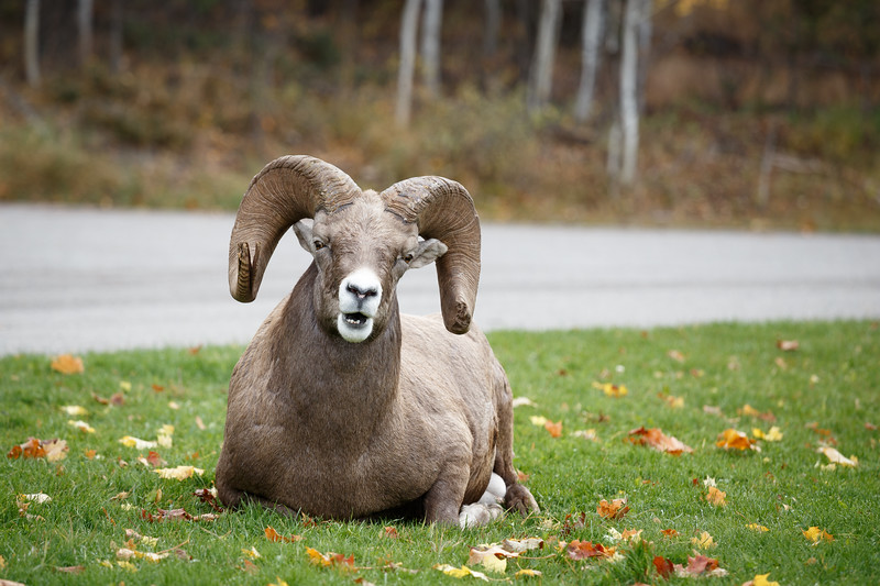 Kootenay, Radium - Bighorn ram sheep sitting on lawn