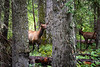 Banff, Vermillion Lakes - A small herd of elk on alert in the trees