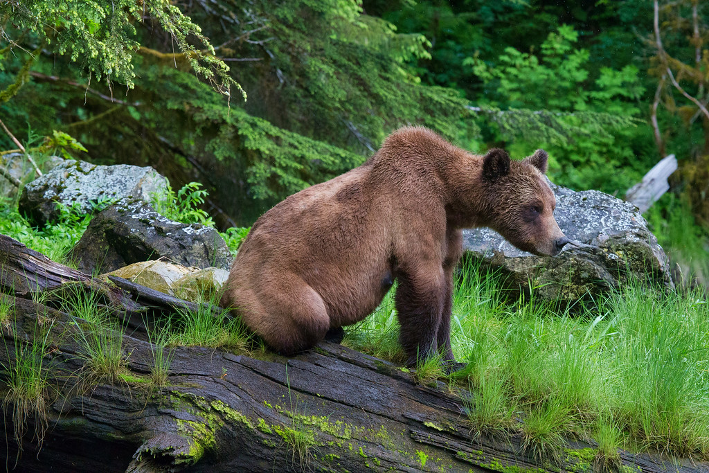 Grizzly_Bear_Cub_02P9432