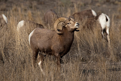 Bighorn Sheep (Male) in rut. Image taken in in the Chilcotin Grasslands in Central British Columbia Canada, the largest Grasslands in the world.