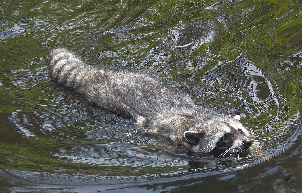 Racoon in Lost Lagoon, Vancouver BC