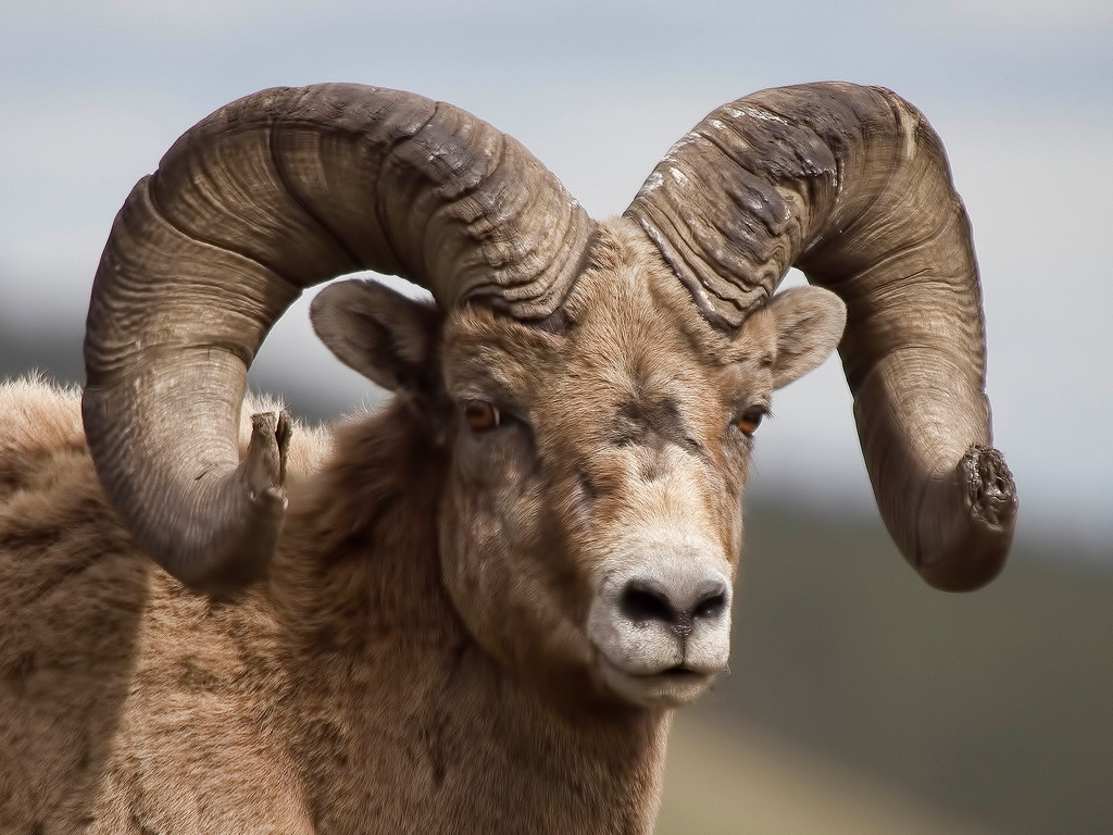 Rocky_Mountain_Sheep_08C2354-8x6