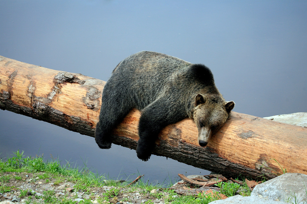 Grizzly Bear napping on a log, North Vancouver, BC
