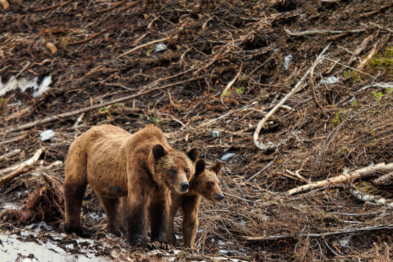 Female Grizzly with Cub
