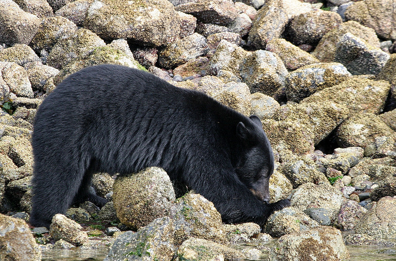 Female Black Bear searches under rocks for West Coast Crabs - Near Tofino, BC
