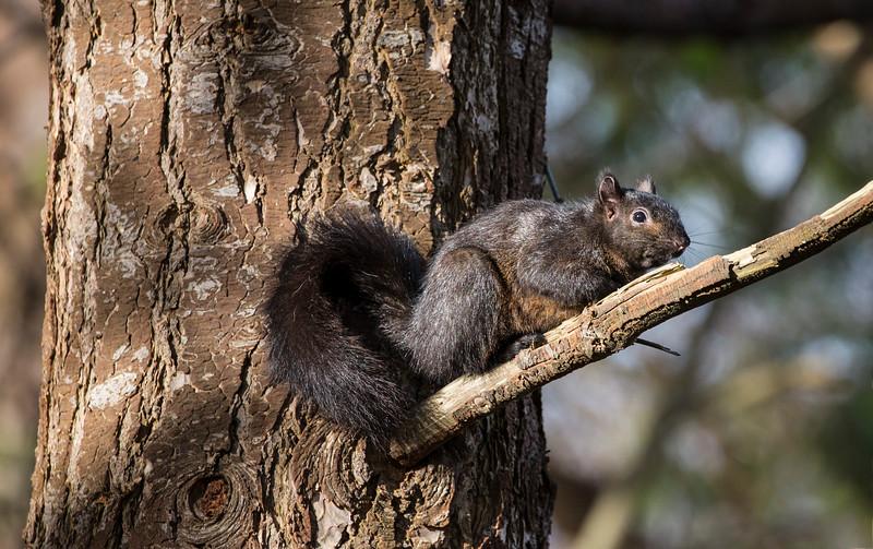 Black Squirrel-Reifel-P8380-3