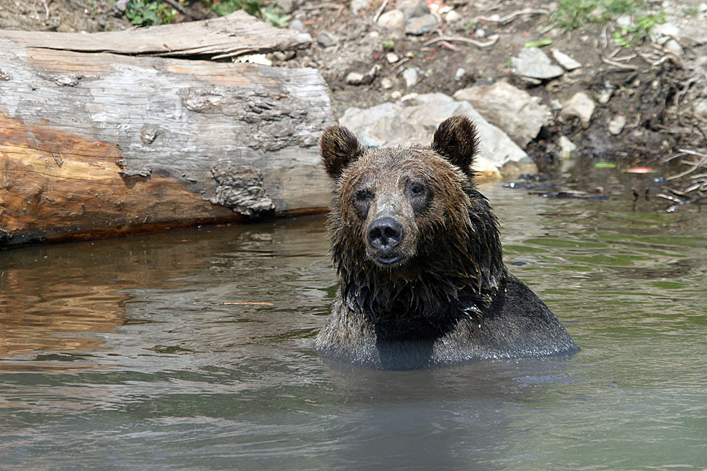 Grizzly Bear, Vancouver BC