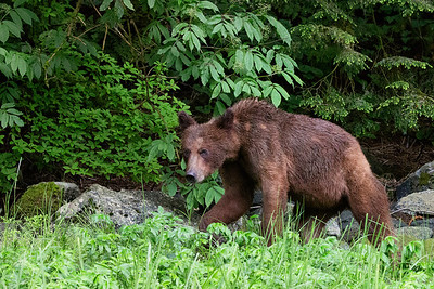 Female_Grizzly-02P9952-8x12
