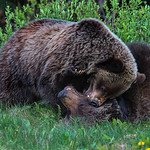 Grizzly Mother & Cub-2P8734-2
