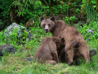 A Grizzly nurses her 2 year old Cub. Found in the wilderness of British Columbia's temperate Rainforest, Located north of Prince Rupert, along Chatham Sound. At the head of Khutzeymateen Inlet is the Khutzeymateen Grizzly Reserve - 45,000 hectares of protected sanctuary for the Grizzly Bear - North America's second largest predator.    Filename: Female Grizzly & Cub_02P8875-12x16