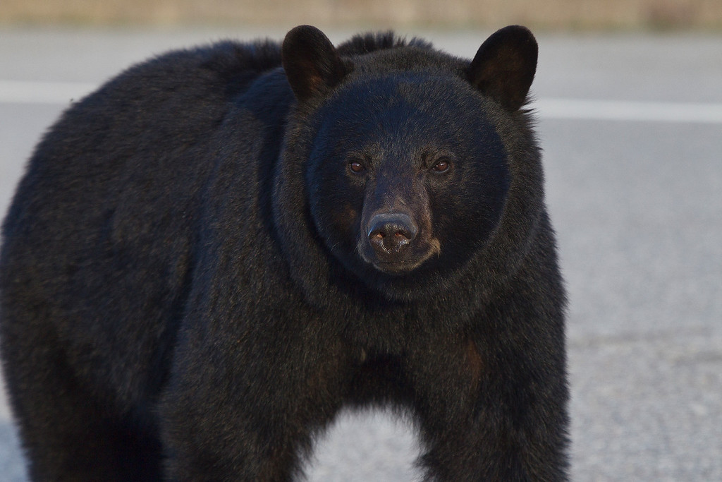 Black_Bear_Jasper_08C2146