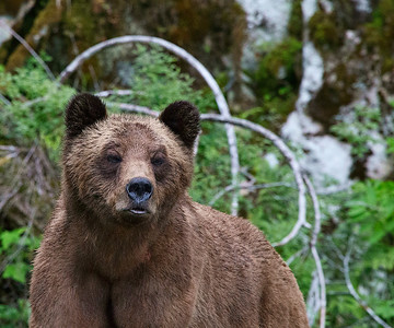Grizzly_02P1154-1200