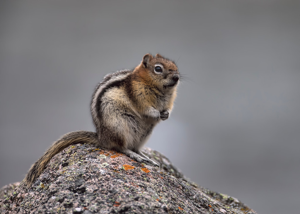 Golden Mantled Ground Squirrel_DX_5130-10x14DN