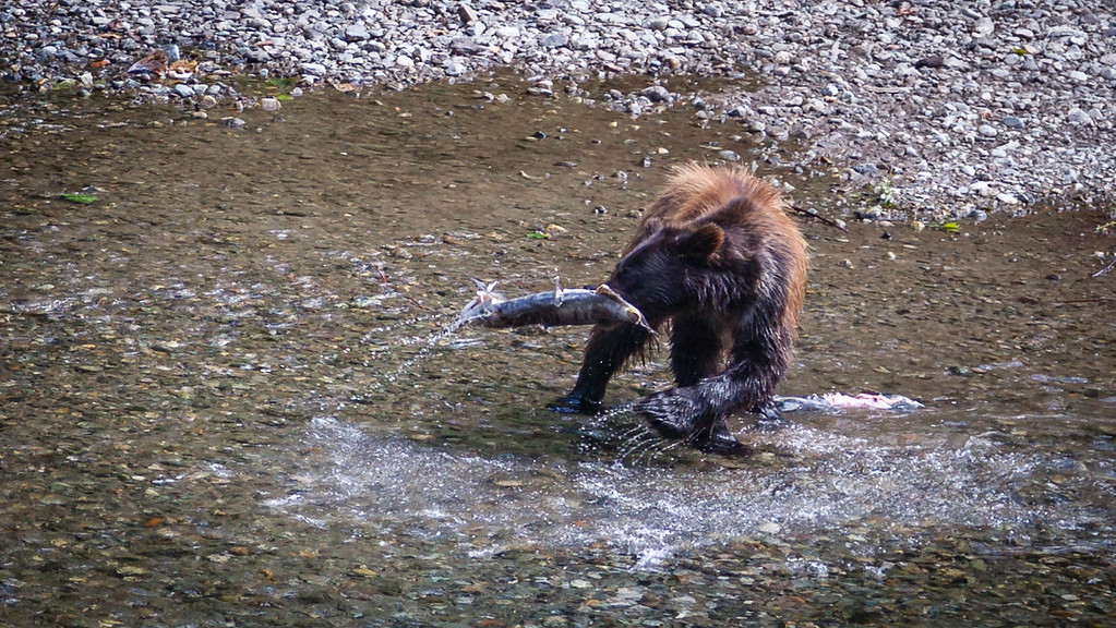 Grizzly Salmon Fishing