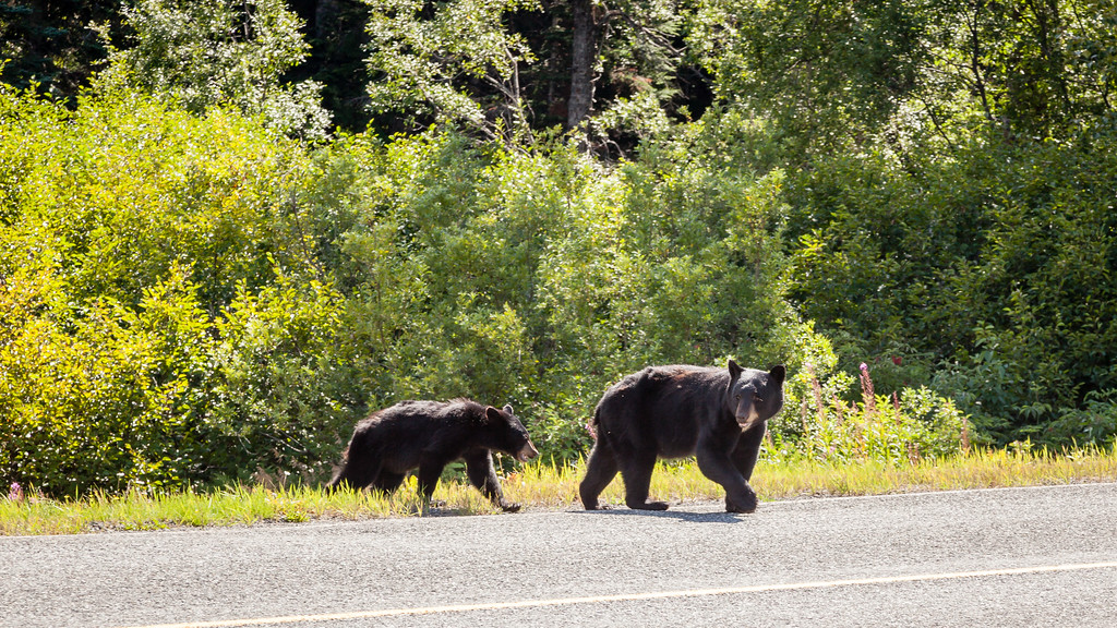 British Columbia Black Bears