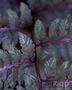 PURPLE FERN