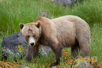 WATCHFUL GRIZZLY