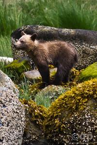 BEAR CUB BALANCING ON BOULDER