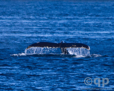 HUMPBACK WHALE TAIL 5