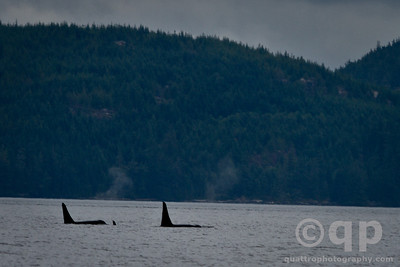 ORCA POD OF THREE
