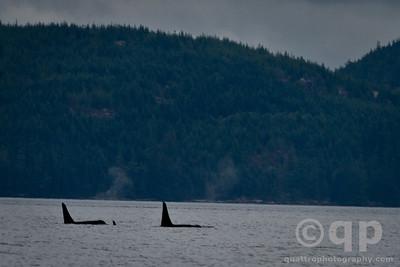 ORCA POD OF THREE
