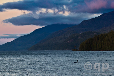 ORCA OFF IN THE SUNSET