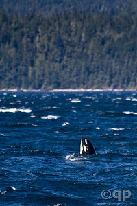 BABY ORCA SPYHOPPING