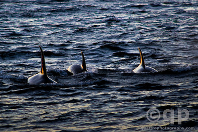 THREE ORCAS AT SUNSET