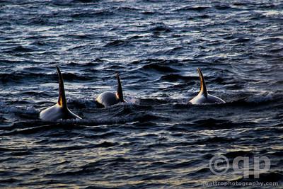 THREE ORCAS AT SUNSET