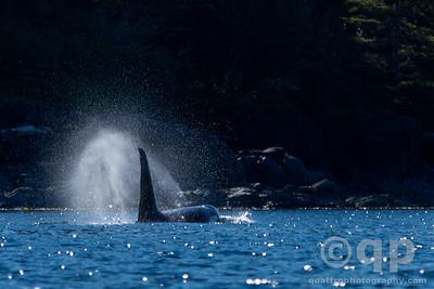 MALE ORCA SPOUTING