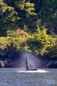 MALE ORCA NEAR THE SHORE